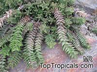 Aloe juvenna, Tiger Tooth AloeClick to see full-size image