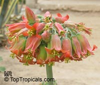 Cotyledon orbiculata , Pig's Ear  Click to see full-size image