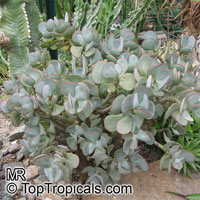 Crassula arborescens, Silver Dollar Plant  Click to see full-size image