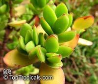 Crassula sp., Crassula  Click to see full-size image