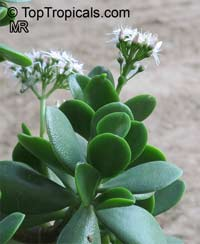 Crassula ovata, Crassula argentea, Crassula portulacea, Jade Plant, Dollar PlantClick to see full-size image