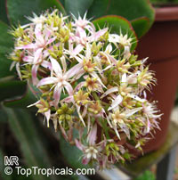 Crassula ovata, Crassula argentea, Crassula portulacea, Crassula obliqua, Jade Plant, Dollar Plant, Money TreeClick to see full-size image