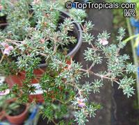 Frankenia sp., Seaheath, Alkali Heath  Click to see full-size image