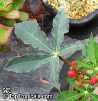 Jatropha berlandieri, Jatropha Buddah Belly, Baseball Plant  Click to see full-size image