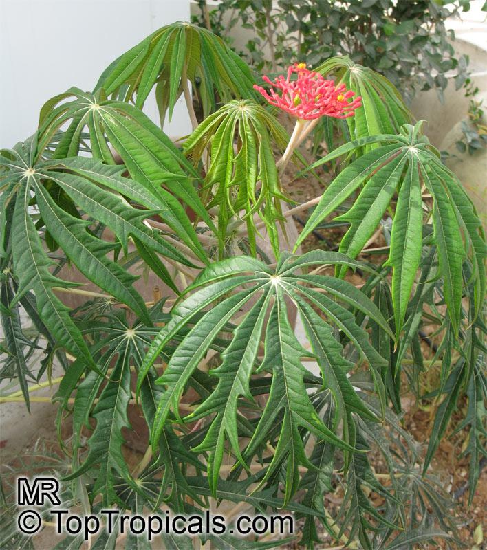 Garden Bush: Jatropha Multifida, Adenoropium Multifidum, Jatropha Tree