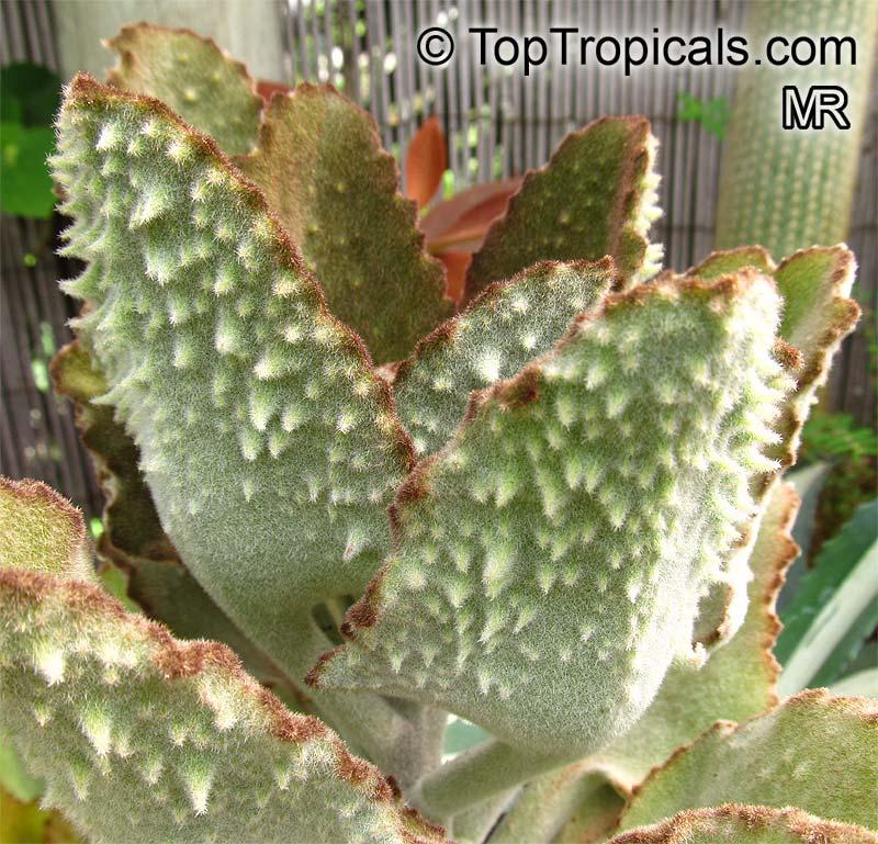 Kalanchoe Beharensis Velvet Leaf Toptropicals Com