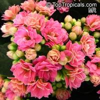 Kalanchoe blossfeldiana hybrids, Kalanchoe, Christmas Kalanchoe  Click to see full-size image