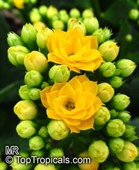 Kalanchoe blossfeldiana hybrids, Kalanchoe, Christmas KalanchoeClick to see full-size image