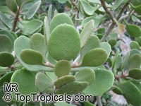 Kalanchoe dinklagei, Kalanchoe  Click to see full-size image