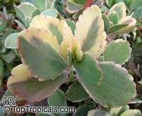 Bryophyllum fedtchenkoi, Kalanchoe fedtschenkoi, Kalanchoe  Click to see full-size image