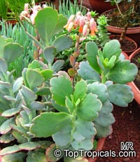 Kalanchoe fedtschenkoi, Bryophyllum fedtchenkoi, KalanchoeClick to see full-size image