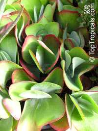 Kalanchoe luciae, Paddle Leaf, Flapjacks, Desert Cabbage