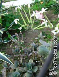 Kalanchoe marmorata, Kalanchoe grandiflora, Penwiper Plant  Click to see full-size image