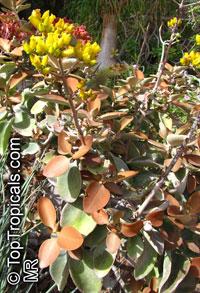 Kalanchoe orgyalis , Bronze Kalanchoe  Click to see full-size image