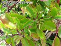 Bryophyllum pinnatum, Kalanchoe pinnata, Bryophyllum calycinum, Hawaiian Air Plant  Click to see full-size image