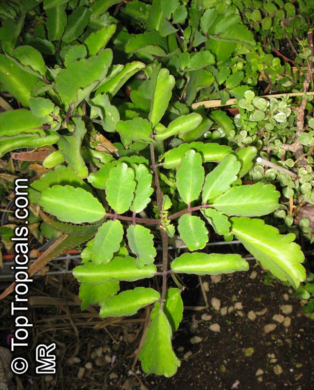 http://toptropicals.com/pics/garden/m1/Succulent_2/Kalanchoe_pinnata3702.jpg
