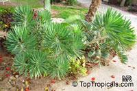 Kleinia neriifolia, Senecio kleinia, Verode  Click to see full-size image