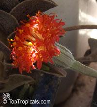 Kleinia pendula, Senecio pendulus, Tapeworm Plant  Click to see full-size image