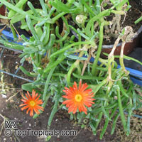 Malephora crocea, Ice Plant, Coppery Mesemb  Click to see full-size image