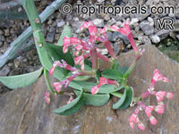 Monadenium coccineum, Euphorbia neococcinea, Masai Spurge  Click to see full-size image