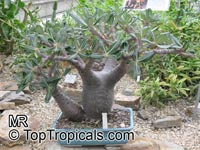 Pachypodium rosulatum, Elephant's Foot Plant, Pachypodium  Click to see full-size image