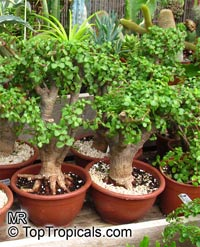 Portulacaria afra - Baby Jade  Click to see full-size image
