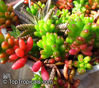 Sedum rubrotinctum, Jelly Beans, Brown Beans, Christmas Cheer