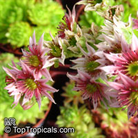 Sempervivum sp., Houseleeks, Hen and Chicks  Click to see full-size image