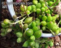 Senecio herreianus, Gooseberry, String of Beads  Click to see full-size image