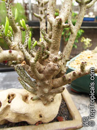 Tylecodon sp., Tylecodon  Click to see full-size image