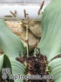 Welwitschia mirabilis, Welwitschia, Tumboa  Click to see full-size image