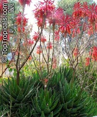 Aloe x nobilis, Gold-Tooth Aloe