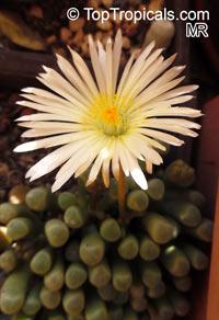 Fenestraria rhopalophylla, Fenestraria aurantiaca, Window Plant  Click to see full-size image