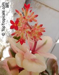 Kalanchoe blossfeldiana, Flaming Katy, Christmas Kalanchoe, Florist Kalanchoe  Click to see full-size image