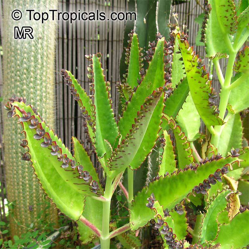 Bryophyllum Daigremontianum Kalanchoe Crenato Daigremontiana