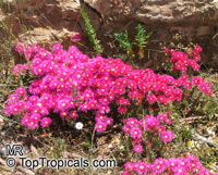 Lampranthus sp., Lampranthus