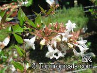 Abelia sp., AbeliaClick to see full-size image