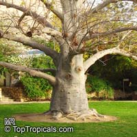 Adansonia digitata - Baobab Tree  Click to see full-size image