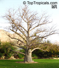 Adansonia digitata, Baobab, Cream of Tartar tree, Monkey-bread tree, Lemonade tree, Upside-down Tree  Click to see full-size image