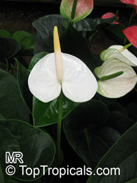 Anthurium sp., Tail Flower