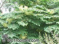 Aralia chinensis, Chinese Angelica Tree