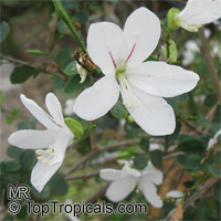 Bauhinia natalensis, Natal Neat's Foot, Dainty Bauhinia  Click to see full-size image