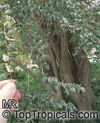 Hardwickia binata , Anjan  Click to see full-size image