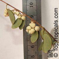 Hardwickia binata , AnjanClick to see full-size image