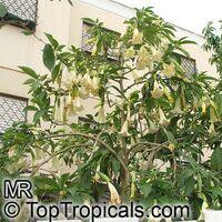 Brugmansia arborea, Datura arborea, Angels Trumpet, Tree DaturaClick to see full-size image