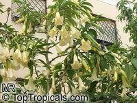 Brugmansia arborea, Datura arborea, Angels Trumpet, Tree Datura  Click to see full-size image