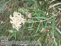 Buddleja saligna, False Olive  Click to see full-size image