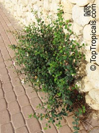 Capparis spinosa, CaperClick to see full-size image