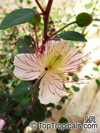 Capparis spinosa - seeds  Click to see full-size image