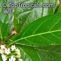 Citharexylum spinosum, Citharexylum quadrangulare, Citharexylum subserratum, Fiddlewood, Boo-nge Saaree  Click to see full-size image